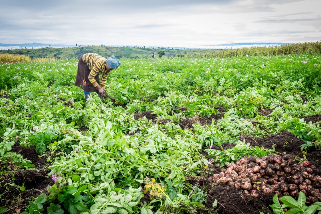 Potato farmer Africa