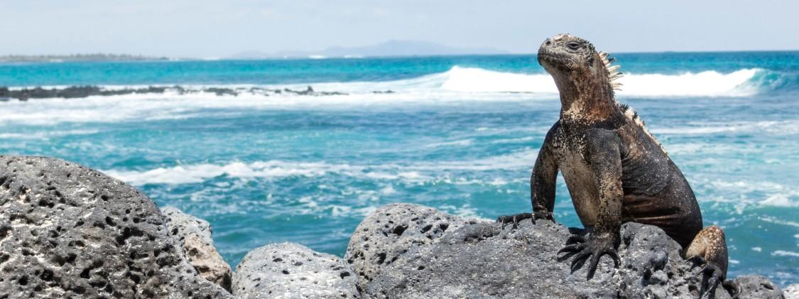 iguana en isla galápagos