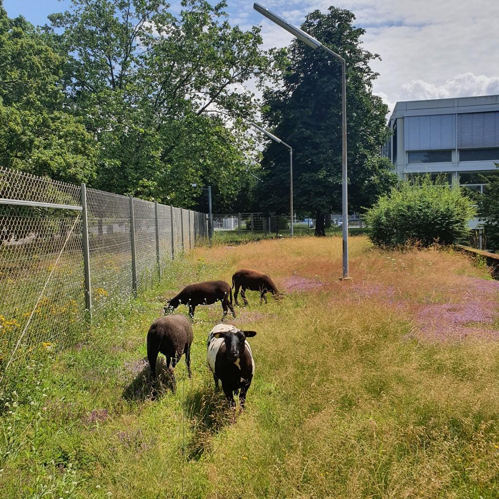 Schafe mähen am Standort Karlsruhe